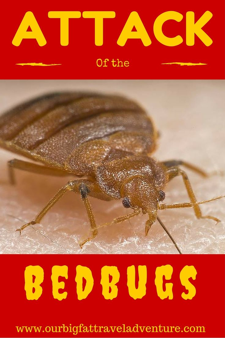 Attack of the bedbugs, Pinterest