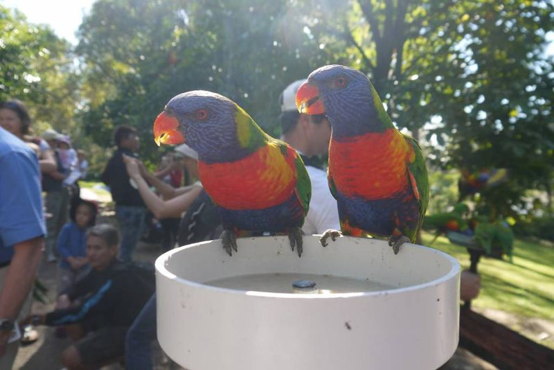 Colourful Lorikeets at Lone Pine