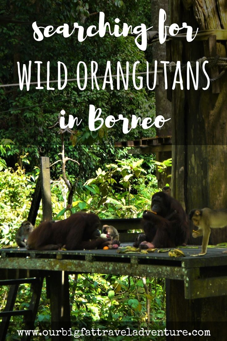 We spent three weeks in Malaysia searching for wild orangutans in Borneo - here's the story of our quest from Danum Valley to the Kinabatangan river. Orangutans in Borneo | Borneo Orangutans | orangutan sanctuary borneo | sepilok orangutan sanctuary |  orangutans in the wild | wild orangutans | Borneo orangutan | orangutans in Borneo