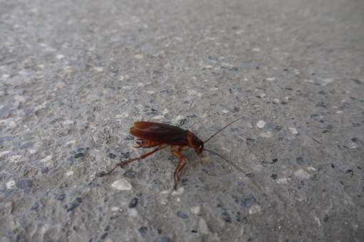 Cockroach in the Philippines