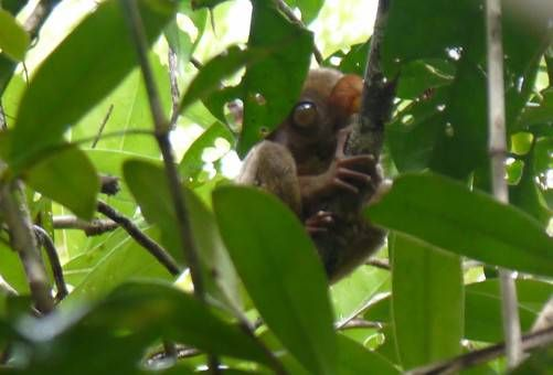 A Tarsier in Bohol, the Philippines