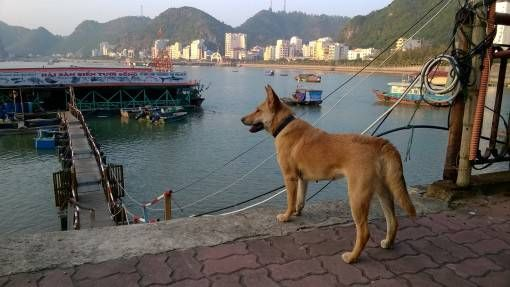 A Dog by the Dock on Cat Ba Island
