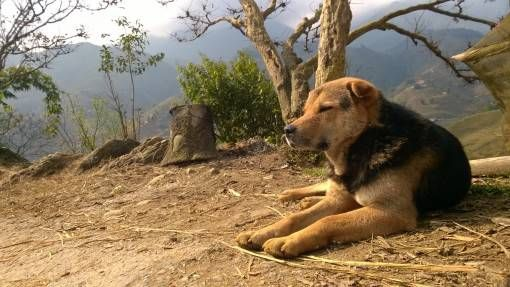 Dog in Sapa, Vietnam