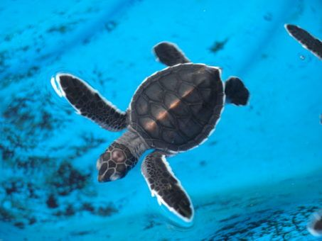 Olive Ridley hatchling at the Turtle Conservation Centre in Penang