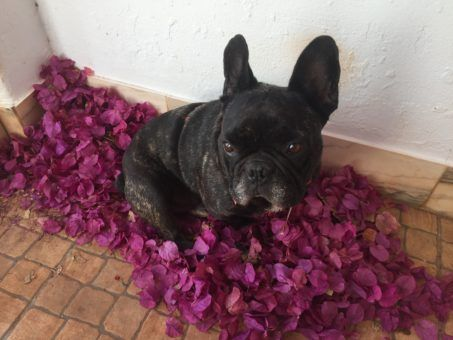 Sjef the French Bulldog at our house sit in Portugal