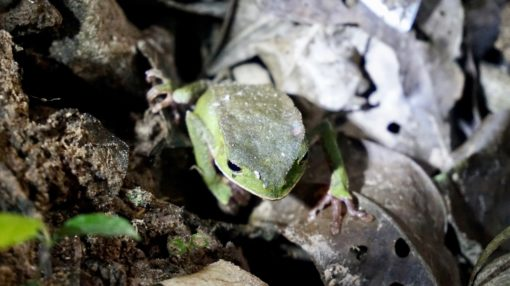 Green frog on a night walk in the Amazon Rainforest Bolivia