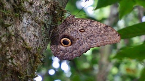 Owl butterfly in the Bolivian Amazon rainforest