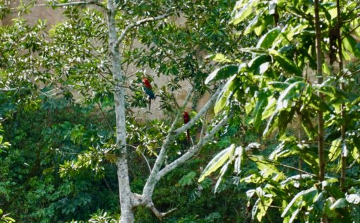 Macaws in a tree in Madidi National Park, Rurrenabaque, Bolivia