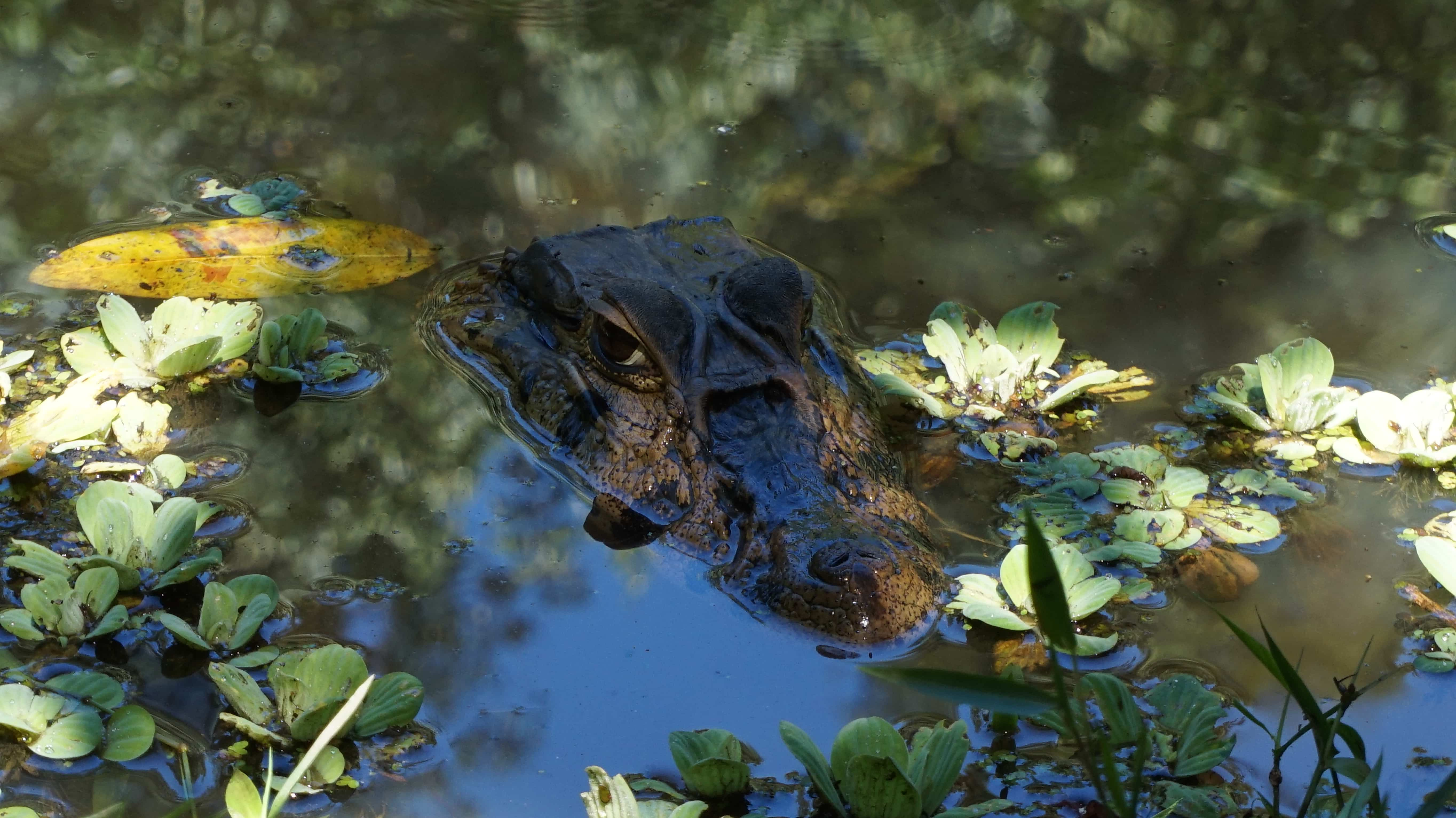 Caiman poking his head out the river in the Amazon rainforest, Bolivia