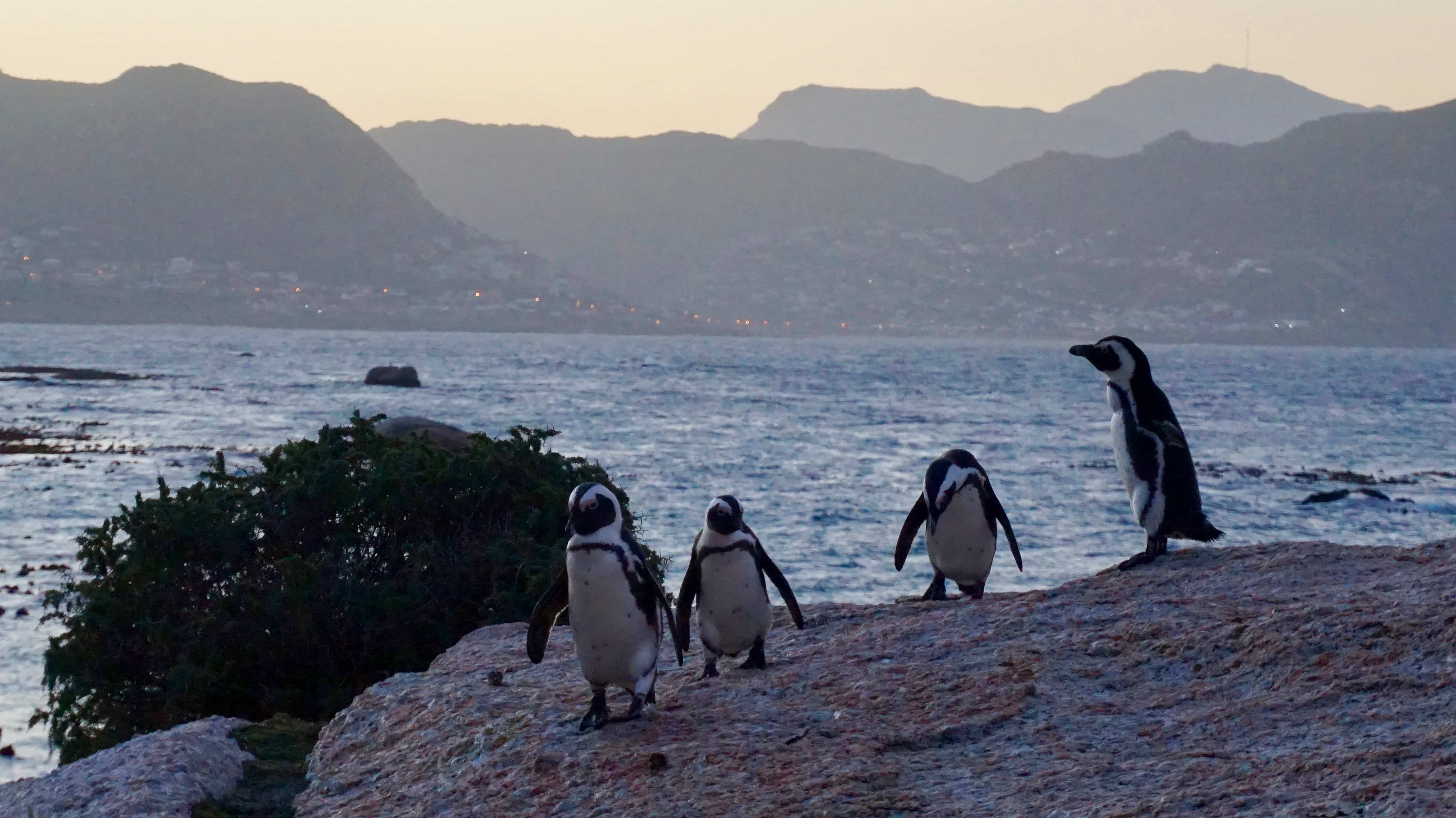 African Penguins at Boulders Beach, near Cape Town in South Africa
