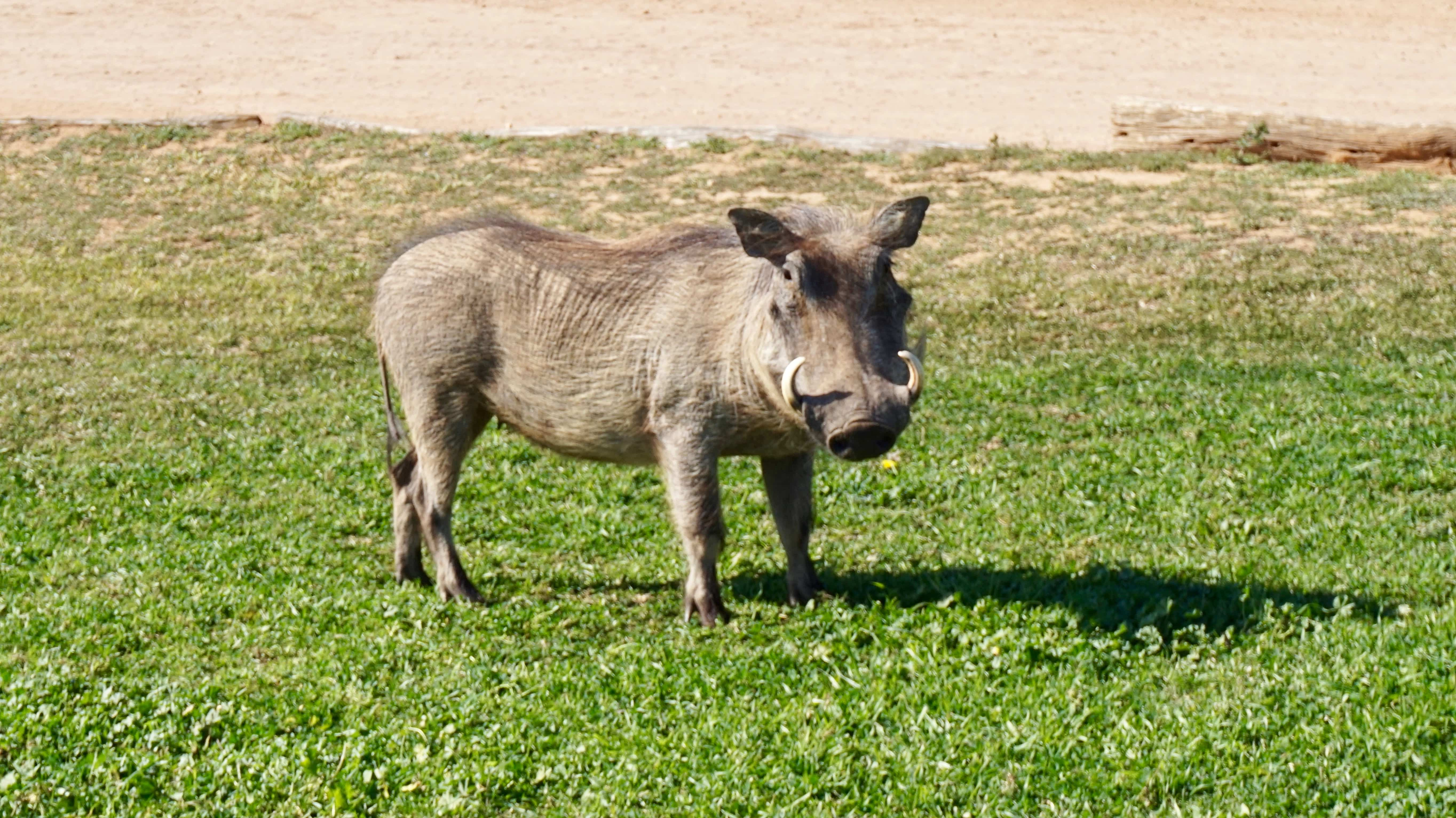 Warthog spotted on a self-drive safari at Addo Elephant National Park
