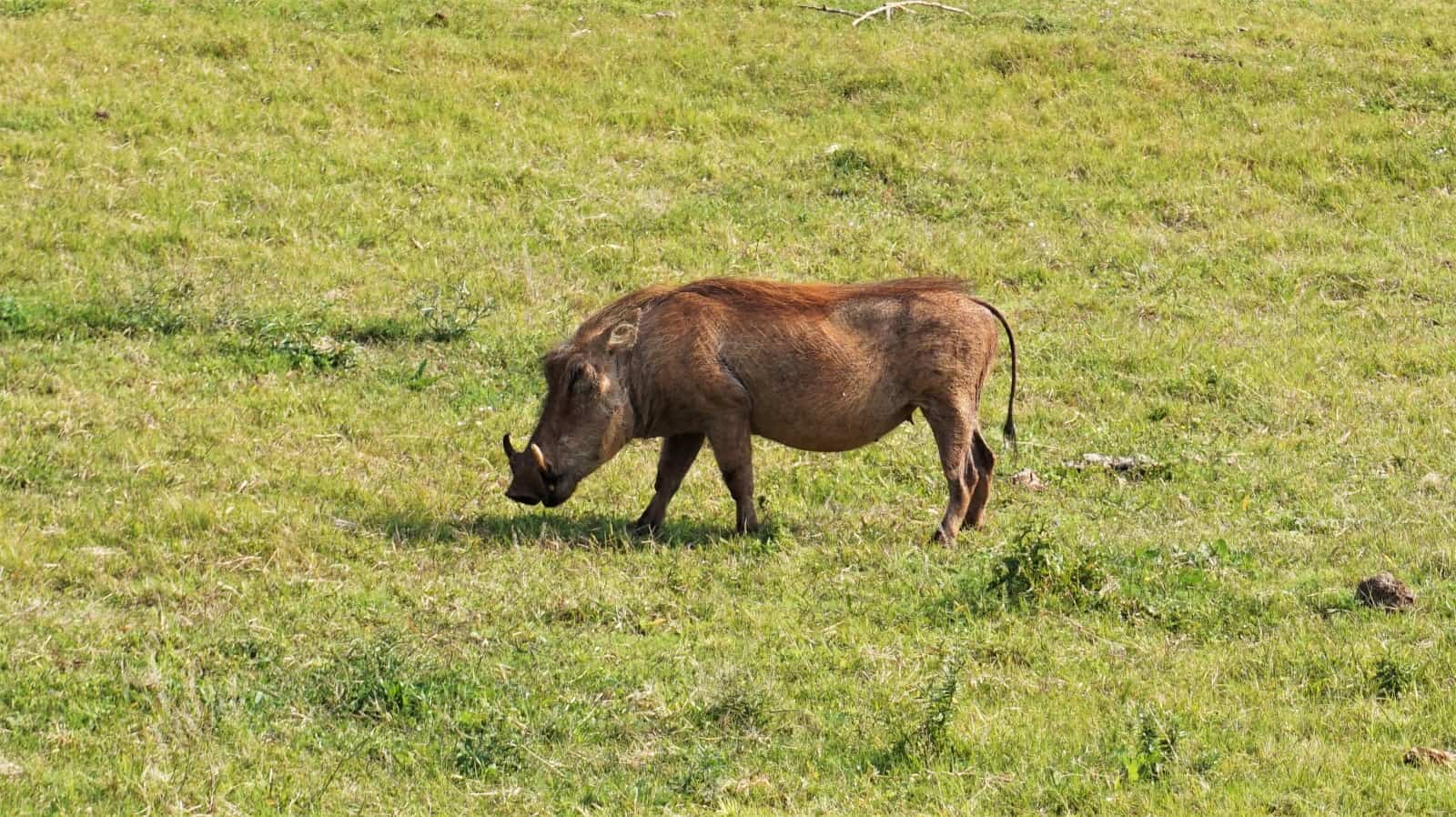 One of many warthogs we saw in Addo Elephant National Park