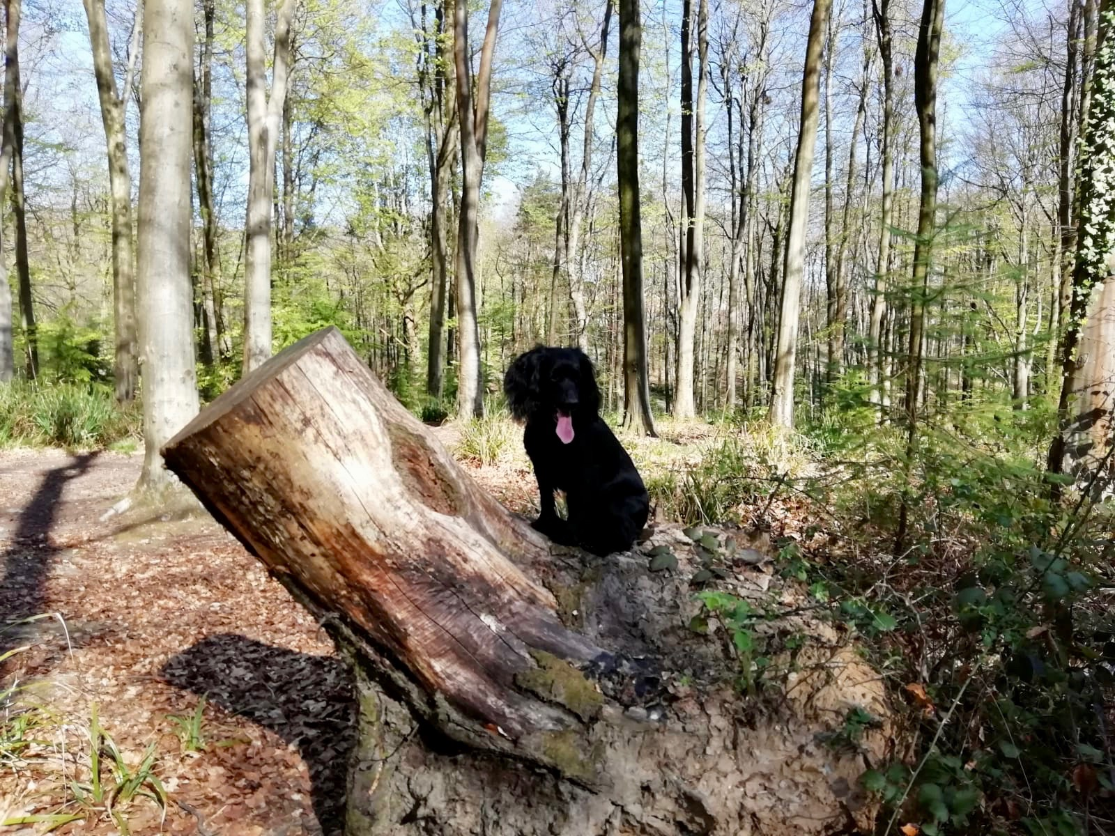 Poppy the spaniel on a log in the forest