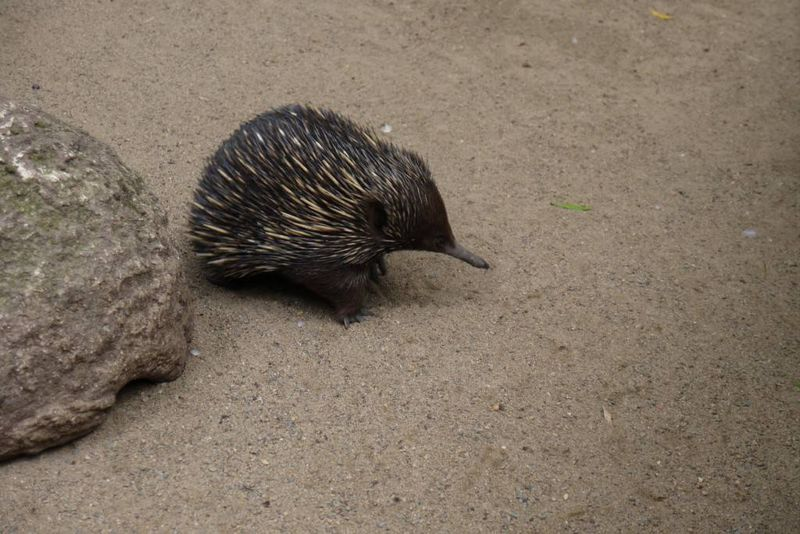 Echidna at Featherdale