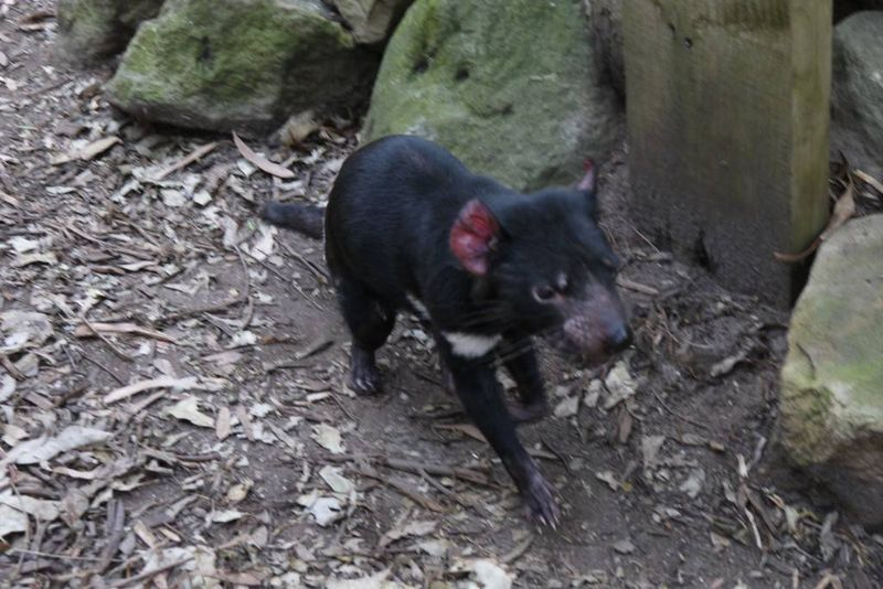 Tazmanian Devil at Featherdale