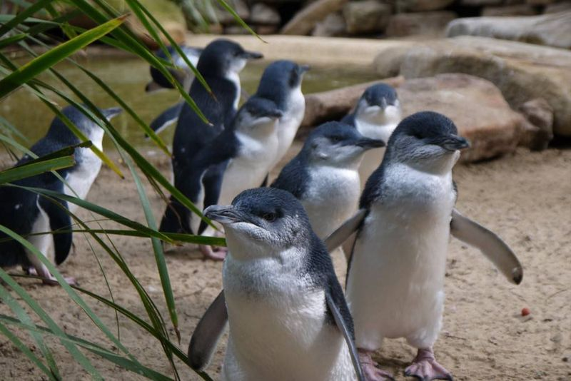 Little Penguins at Featherdale