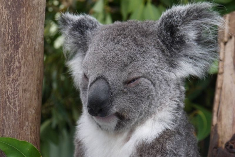 Sleepy Koala at Featherdale