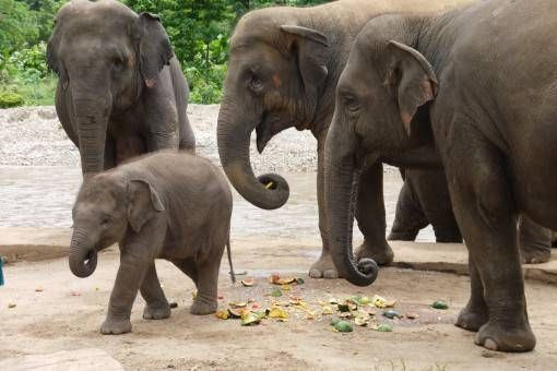Rescued Elephants at the Elephant Nature Park, Thailand