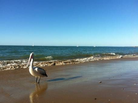 Pelican in Hervey Bay, Australia