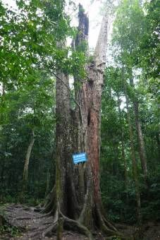 Thousand-year-old-tree at Cuc Phuong National Park