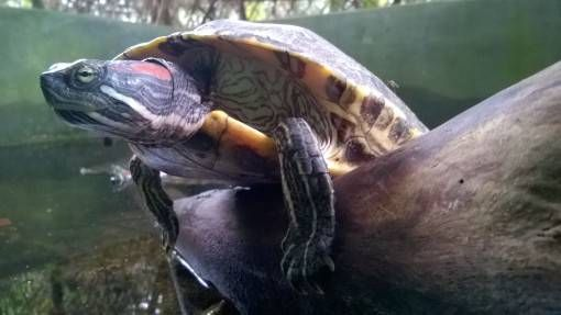 A Red-Eared Slider Turtle at the Turtle Conservation Centre