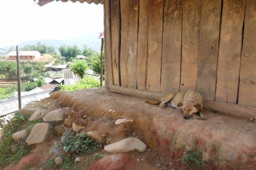 Village dog sleeping in Sapa