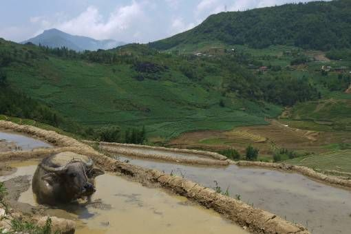 Buffalo wallowing in the Sapa rice terraces