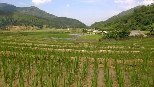 Rice shoots in Sapa, Vietnam