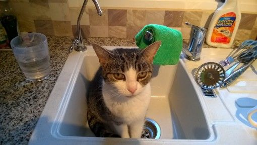 Buzz the cat sitting in the sink