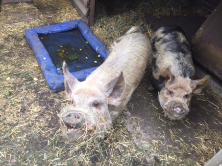 Snout and Crackling, pet pigs we looked after in London