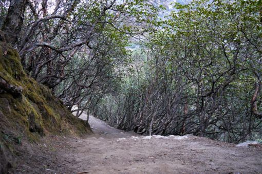 A tunnel of trees on the route from Namche Bazaar to Tengboche, Nepal