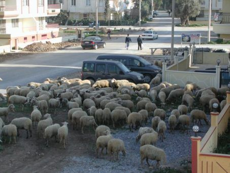 sheep on the road, local life in Didim, Turkey