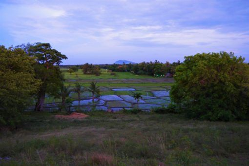 Rice paddies in Polonnaruwa in Sri Lanka