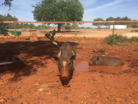 The pigs we looked after while house sitting Portugal