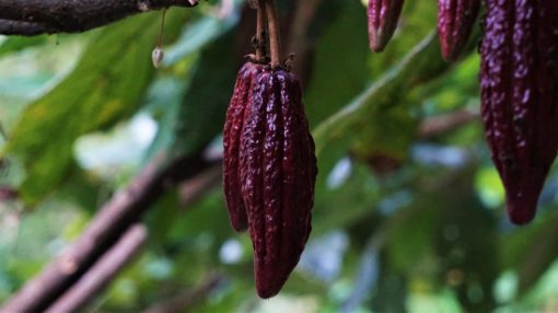 Red cacao fruit at Finca La Candelaria cacao farm, Minca, Colombia