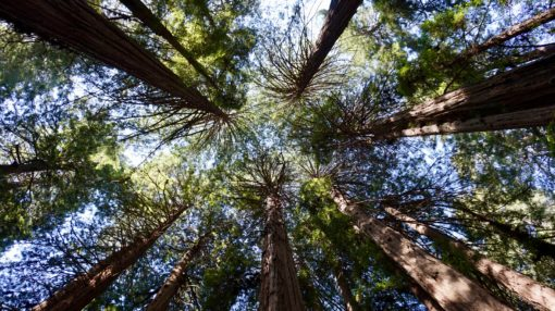 Tops of giant Sequoia Trees in Muir Woods, California