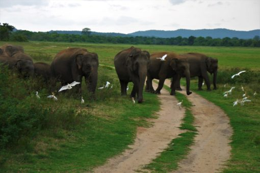 Elephants at Kaudulla National Park, Sri Lanka