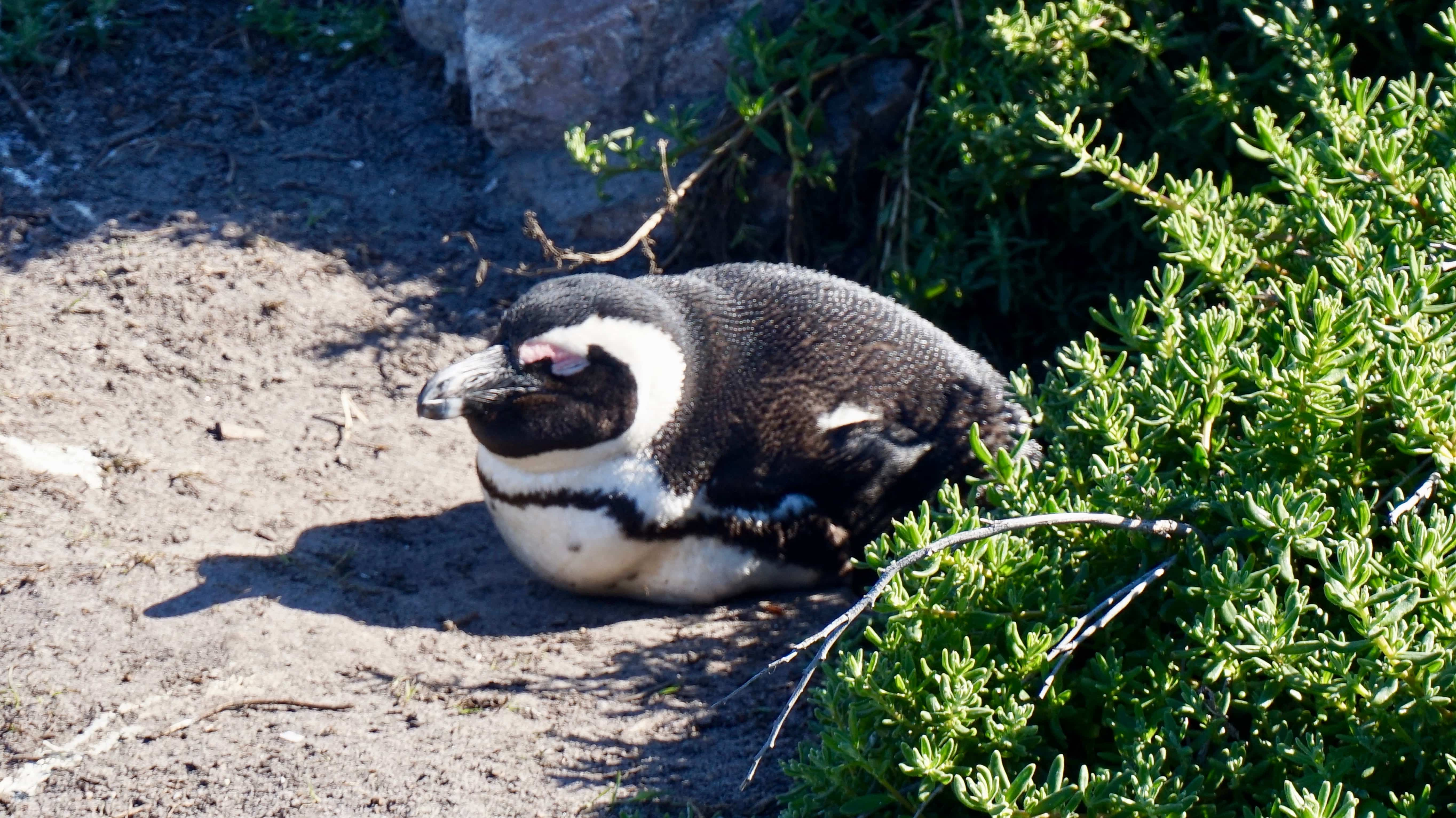 African Penguin sleeping at Betty's Bay on the Garden Route