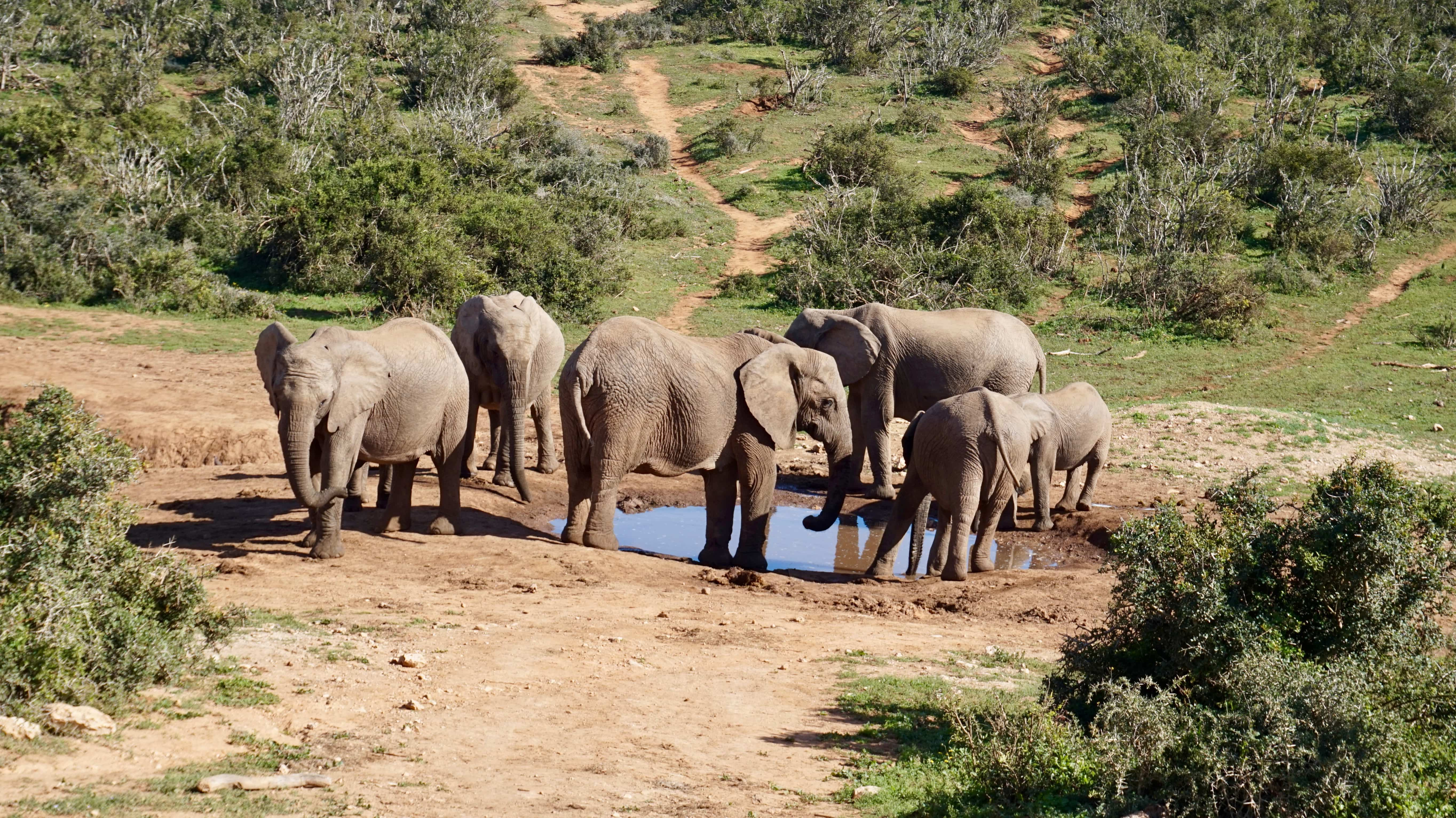 Elephants at the water hole in Addo Elephant National Park, South Africa