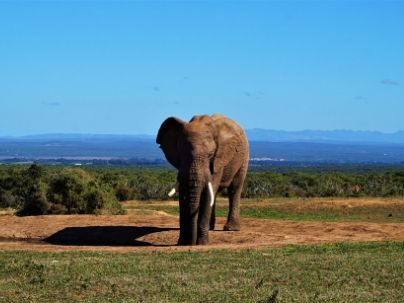 Adult male elephant at Addo Elephant National Park