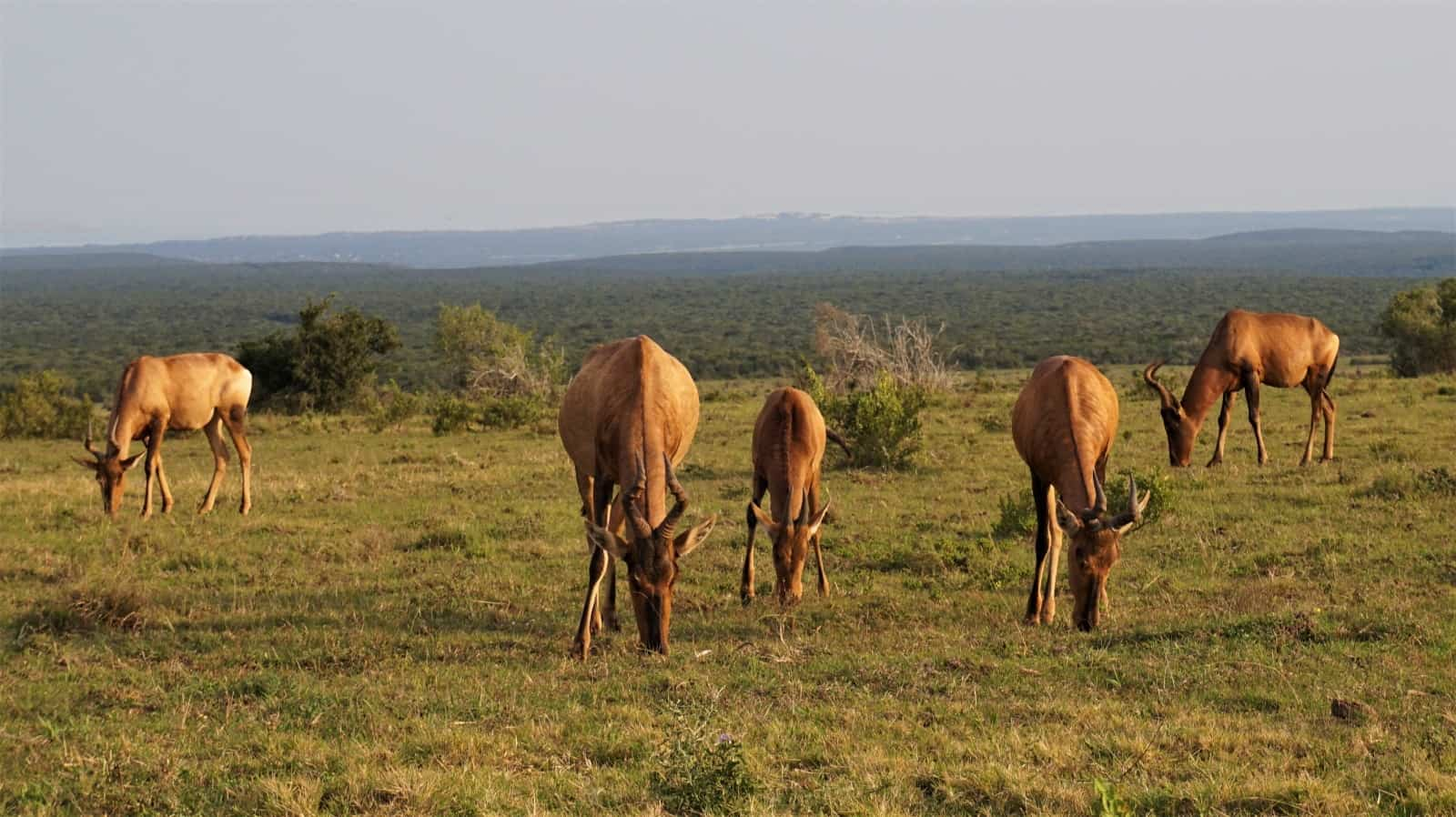 Red Hartebeest grazing at dusk in Addo Elephant National Park, South Africa