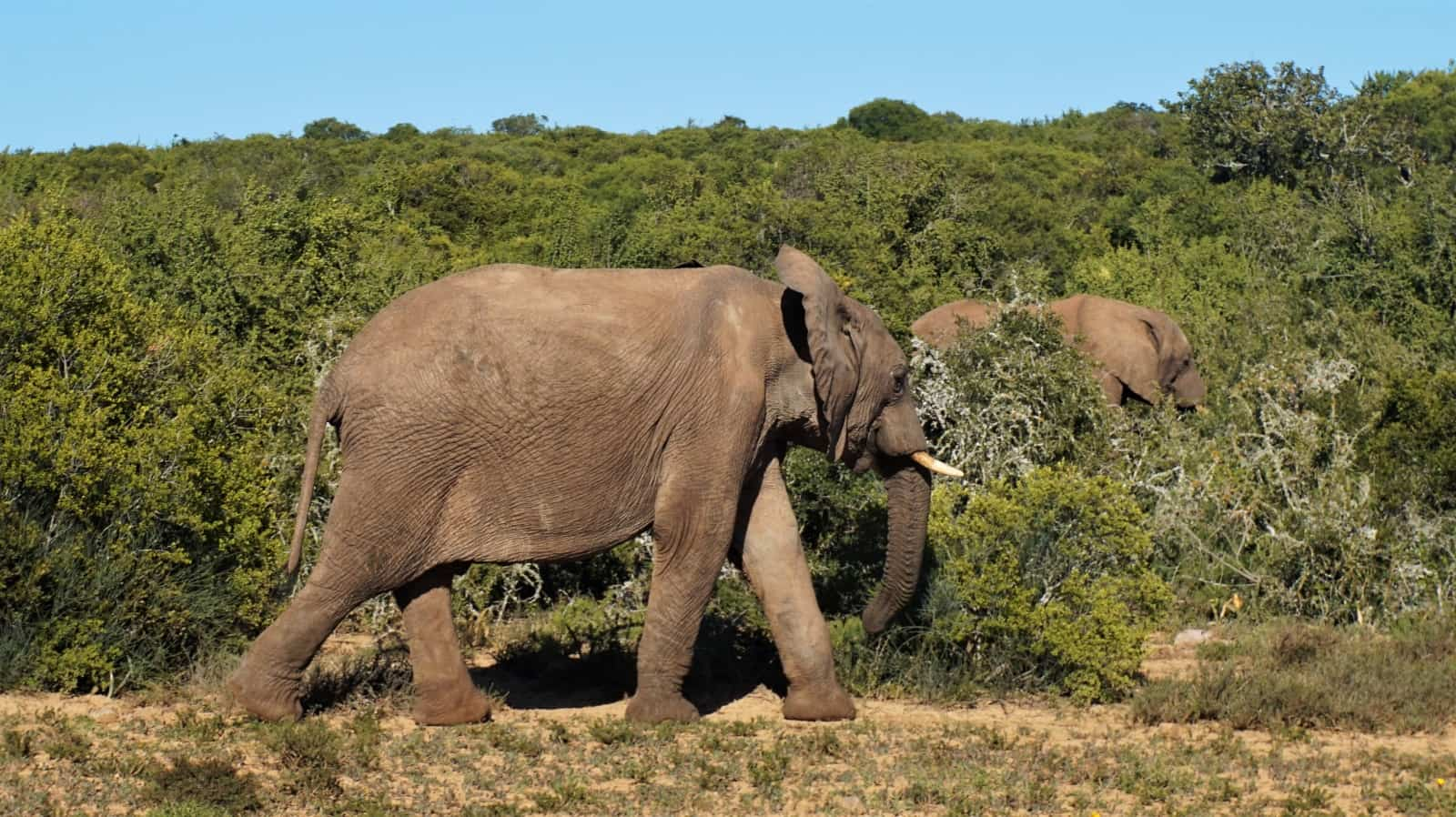 Young elephant at Addo Elephant National Park, Eastern Cape, South Africa