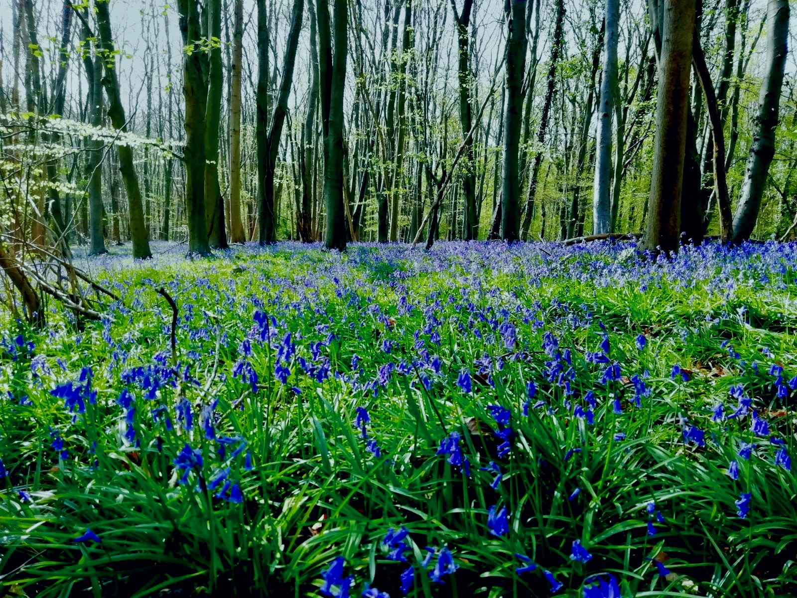 Bluebell Forest in full bloom